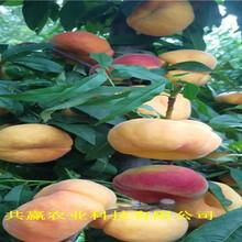 貴州六盤水新品種桃樹苗聯系電話圖片