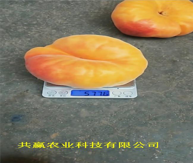 重慶銅梁8月成熟桃苗采購批發價