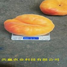 甘肅慶陽晚熟桃樹苗今年才賣