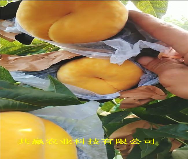 重慶南岸嫁接桃樹苗這里賣的好
