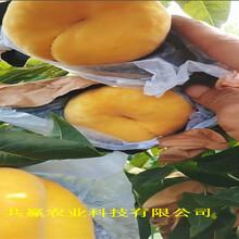 貴州遵義早熟桃樹苗育苗基地報價圖片