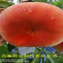 重慶萬盛9月成熟桃苗這里賣的好圖片