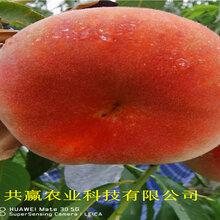 河南漯河早熟桃樹苗賣的價格