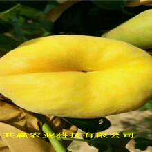 四川樂山早熟蟠桃樹苗這里賣的價格圖片
