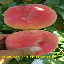 云南曲靖油蟠桃樹苗近期批發價格圖片