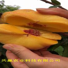 浙江麗水10月成熟桃苗育苗基地報價圖片