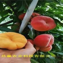 重慶大足黃金密桃樹苗出售價錢圖片