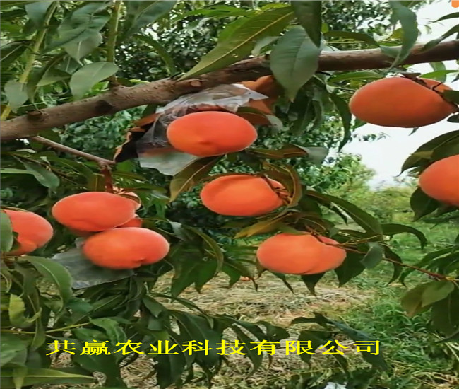 云南曲靖早熟新品種桃苗賣的價格
