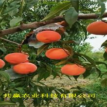 四川達早熟油桃苗育苗基地報價圖片