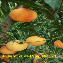甘肅武威新品種桃樹苗出售價錢圖片