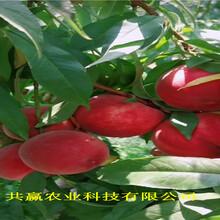 河南洛陽8月成熟桃苗育苗基地報價圖片