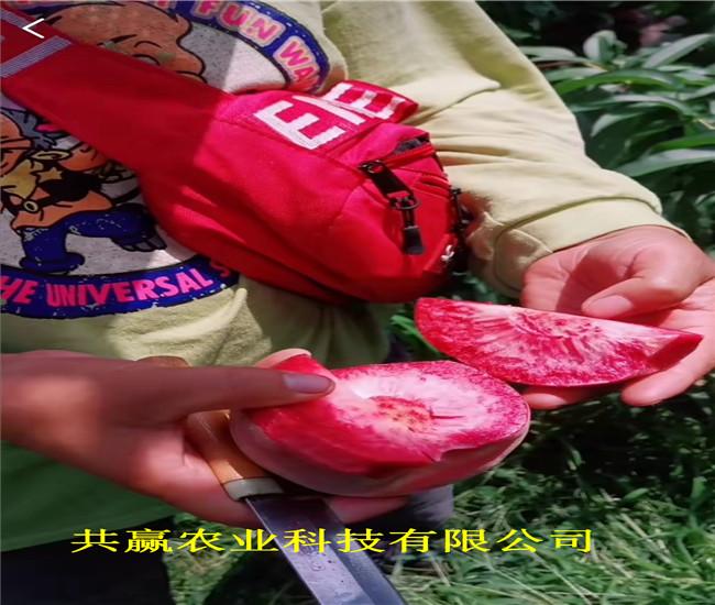 新疆庫爾勒早熟蟠桃樹苗近期批發價格