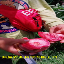 河北滄秋彤桃樹苗主產區報價圖片
