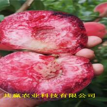 江蘇蘇冬雪桃樹樹苗主產區報價圖片