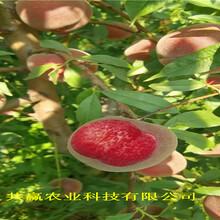 新疆五家渠晚熟冬桃樹苗送貨報價圖片