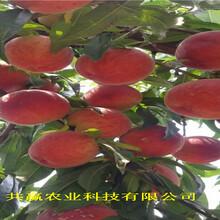 河南濟源黃桃樹苗送貨報價圖片