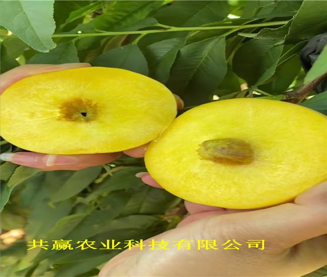 重慶南川冬雪桃樹樹苗主產區價格