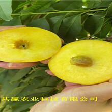 山西陽泉晚熟冬桃樹苗主產區價格圖片