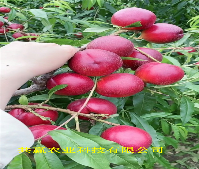 貴州黔南金秋紅蜜桃樹苗主產區售價