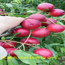廣西柳5月成熟桃苗主產區售價圖片