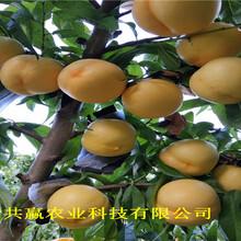 河南長葛早熟蟠桃樹苗主產區售價圖片