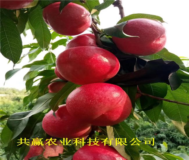 廣西來賓早熟新品種桃苗栽種技術