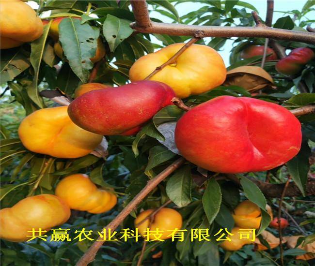 重慶開黃金密桃樹苗賣的價格