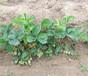 河北石家庄草莓苗价格、大棚用草莓苗基地有卖