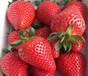 大棚用草莓苗批發報價草莓苗貨比三家