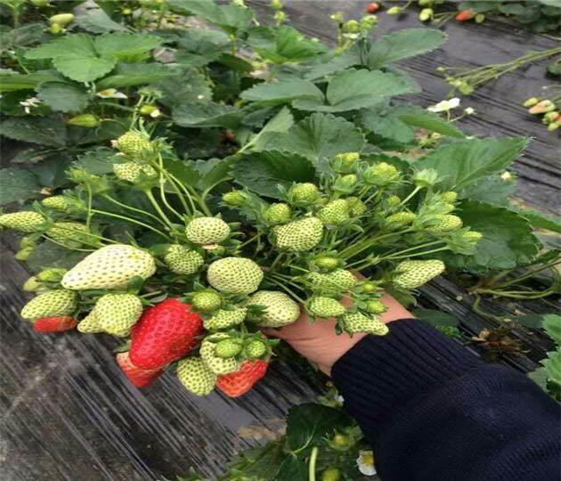 广西百色草莓苗咋卖的、牛奶草莓苗这里有售