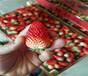 草莓苗批發市場甜查理草莓苗基地供應