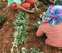 草莓苗批发出售全明星草莓苗企业推荐