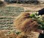 湖北孝感草莓苗供应、全明星草莓苗农户供应