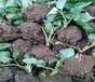 四川成都草莓苗啥价格、采摘用草莓苗基地价格