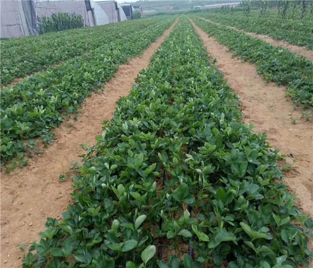 湖北宜昌草莓苗基地位置、雪里香草莓苗大量出售
