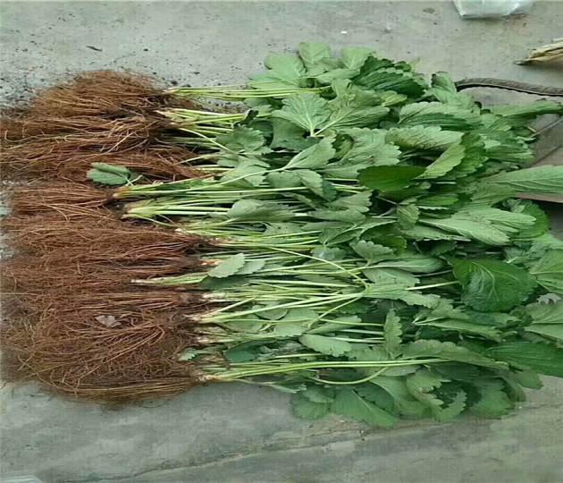 山东东营草莓苗供应、奶油草莓苗联系方式
