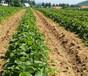 广东佛山草莓苗基地位置、四季草莓苗本地出售