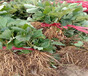 圣誕紅草莓苗批發基地草莓苗本地出售