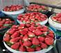 云南怒江草莓苗批发报价、大棚草莓苗基地位置