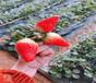 草莓苗批發基地露天種植草莓苗基地有賣
