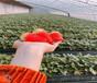 草莓苗批發報價牛奶草莓苗這里售賣