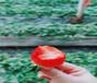 安徽安庆草莓苗联系方式、大棚草莓苗基地价格
