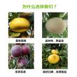 青海果洛软籽石榴树苗批发出售图片