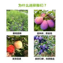 桃树苗这里有卖(河南济源联系方式)图片