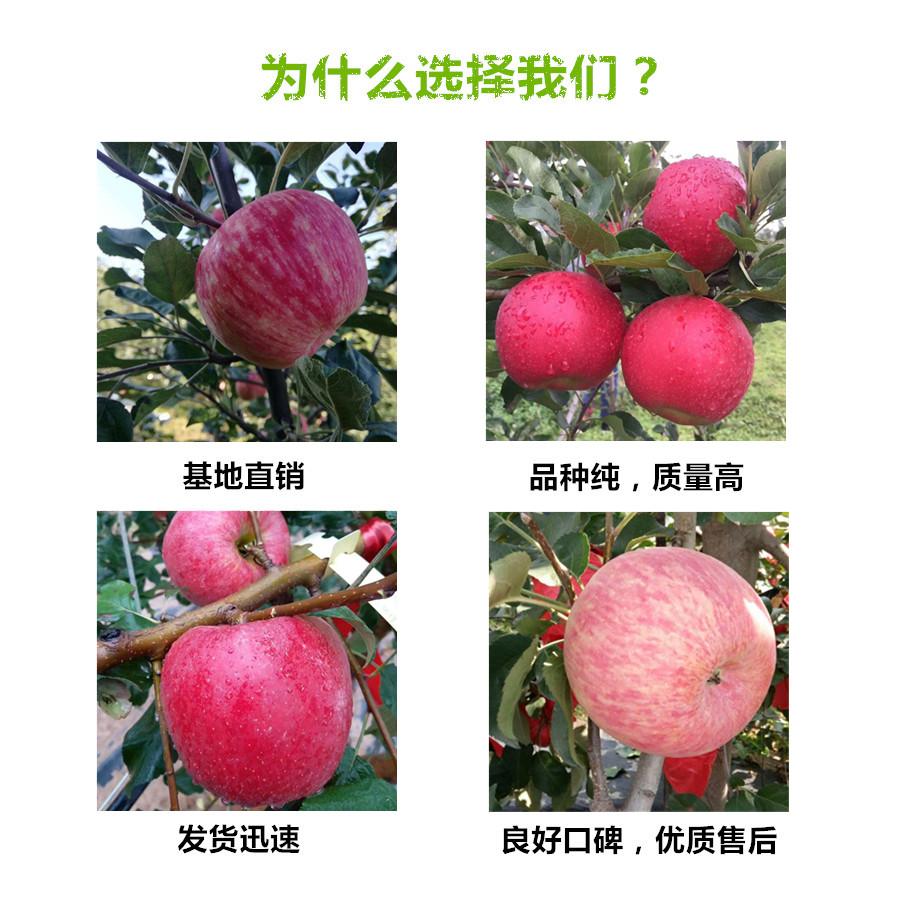 湖南株洲早熟苹果树苗啥价格