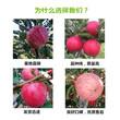 山东日照矮化苹果树苗批发出售图片