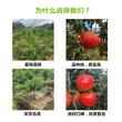 湖北武汉山楂树苗基地位置图片