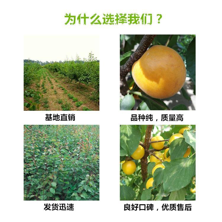 陕西汉中板栗树苗基地供应