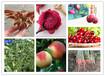 蟠桃樹苗價位如何(河南三門峽提供種植技術)