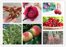 宁夏石嘴山苹果树苗基地有卖图片0